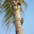 Woodpecker, Mar - Stock Photo