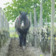 Stock Photo: Horse in vineyard, Sidleny, Czech Republic