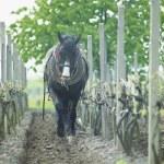 Horse in vineyard, Sidleny, Czech Republic — Stock Photo #4264513