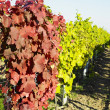 Grapevines in vineyard — Stock Photo #4264877