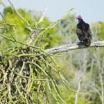 Bird of prey, Cayo Sabinal, Camaguey Province, Cuba — Stock Photo