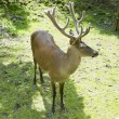 Stock Photo: Standing deer