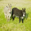 Donkeys - Stock Photo