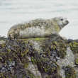 Foto Stock: Seal in Bantry Bay