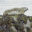 Seal in Bantry Bay — 图库照片