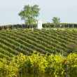 Stock Photo: Vineyard, Southern Moravia, Czech Republic