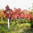 Grapevines in vineyard, Czech Republic — Stock Photo #4296925