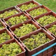 Harvested grapevines - Stock Photo