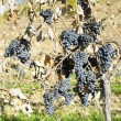 Grapevines in vineyard — Stock Photo #4296935