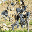 Grapevines in vineyard - Stock Photo