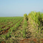 Sugar cane field, Ren — Stockfoto
