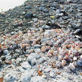 Seashells, Cayo Sabinal, Camaguey Province, Cuba — Stock Photo