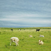 Cows, The Mullet Peninsula, County Mayo, Ireland — Stock Photo
