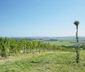 Vineyard, Znojmo Region, Czech Republic — Stock Photo