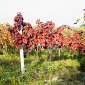 Grapevines in vineyard, Czech Republic — Stock Photo