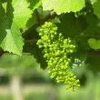 Unripe grapevine, Czech Republic — Stock Photo #4306636