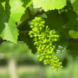 Stock Photo: Unripe grapevine, Czech Republic
