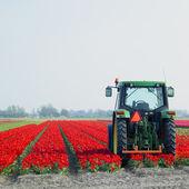 Tulip field, Netherlands — Stock Photo