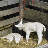Two lambs — Stock Photo