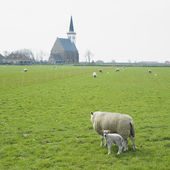 Sheep with a lamb, Den Hoorn, Texel Island, Netherlands — Stock Photo
