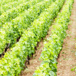Vineyards, Burgundy, Franc - Stock Photo