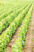 Vineyards, Burgundy, Franc — Stock Photo
