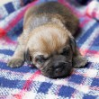 Sleeping puppy — Stock Photo