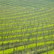 Vineyard Ulehle, Livi Dubnany, Czech Republic - Stock Photo
