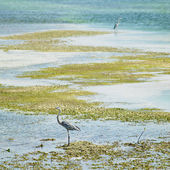 Herons, Cayo Santa Mar — Stock Photo