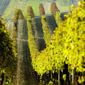 Vineyards in Cejkovice region, Czech Republic — Stock Photo