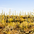 Stock Photo: Saguaro National Park, Arizona, USA