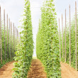 Hops garden, Czech Republci — Stock Photo #4426854