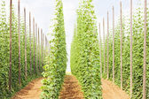 Hops garden, Czech Republci — Stockfoto