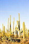 Saguaro National Park, Arizona, USA — Stock Photo