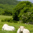 Stock Photo: Cows, Burgundy, France