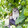 Monkey in Grand Etang National Park, Grenada - Stock Photo