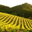 Vineyards near Gigondas, Provence, France — Stock Photo #4502939