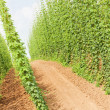 Stock Photo: Hops garden, Czech Republic