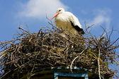 Stork, Netherlands — Stock Photo