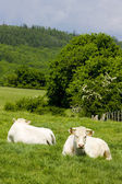 Cows, Burgundy, France — Stock Photo
