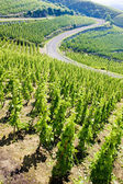 Grand cru vineyard, C — Stockfoto