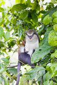 Monkey in Grand Etang National Park, Grenada — Stock Photo