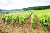 Vineyards near Gevrey-Chambertin, Cote de Nuits,Burgundy, France — Stock Photo