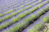 Lavender field, Drome Department, Rhone-Alpes, France — Stock Photo