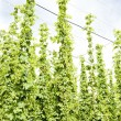 Hops garden, Czech Republic — Stock Photo #4589370