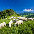 Sheep herd, Mala Fatra, Slovakia — Stock Photo #4607281