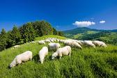 Sheep herd, Mala Fatra, Slovakia — Stock Photo