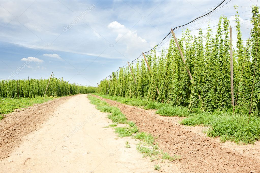 Hops garden, Czech Republic — Stock Photo #4607175