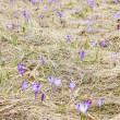 Colchicum - Stock Photo