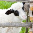 Stock Photo: Portrait of lamb